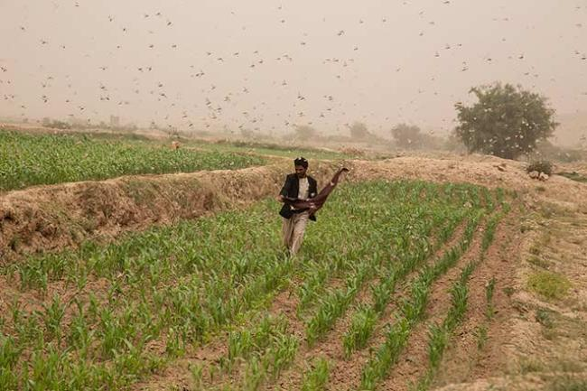 A farmer trying to defend his farm from desert locust attack